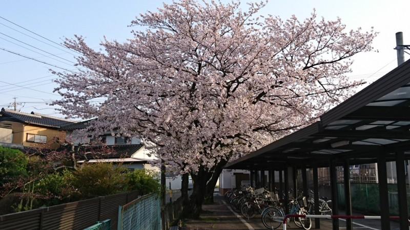 2017.4.9 古井 (7) さくら 1280-720