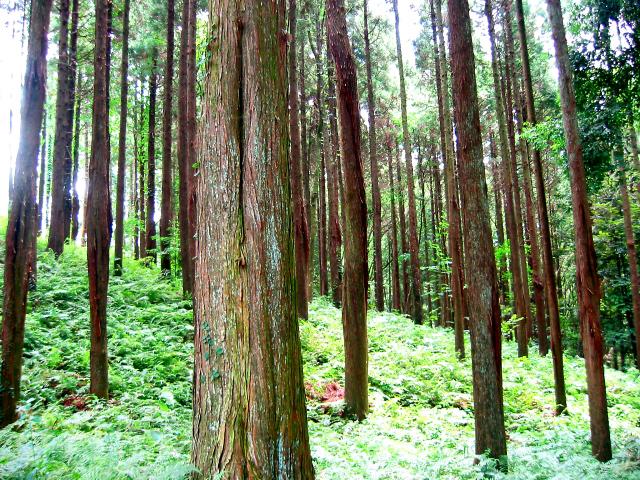 森林浴のリラックス効果を高めるには、現在(いま)に集中してゆっくりと歩く