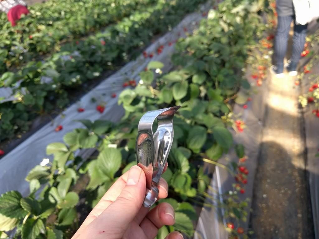 イチゴ畑をバックにしたいちごのヘタ取りヘタ取り器