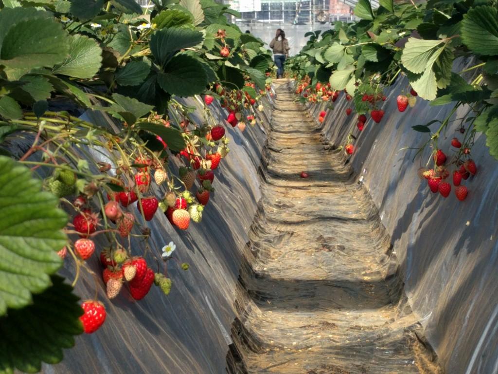 栽培栽培されいてるたくさんのいちご