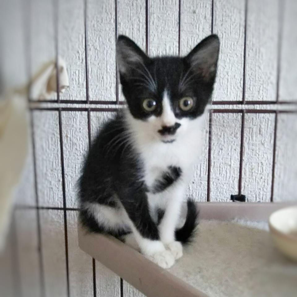 保護猫 子猫 ハチワレ