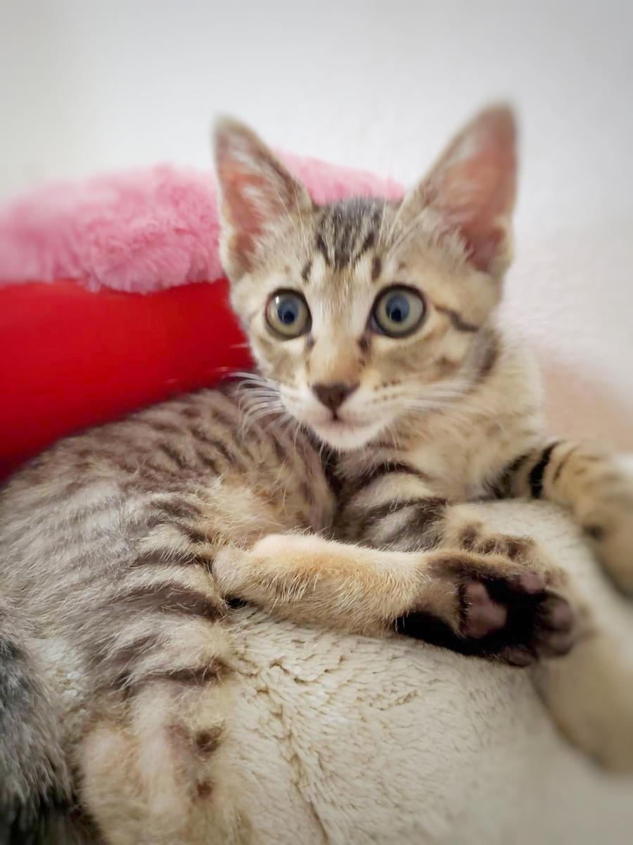 キジトラ子猫 保護猫