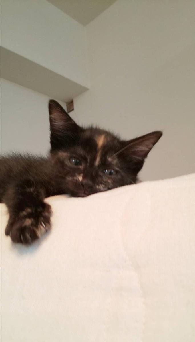 保護猫 子猫 サビ猫