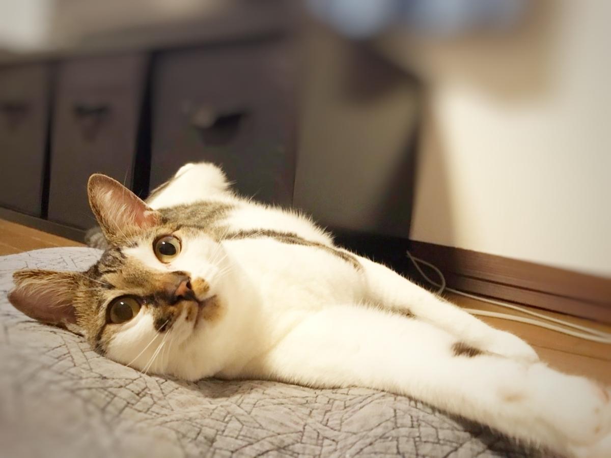 保護猫 キジ白
