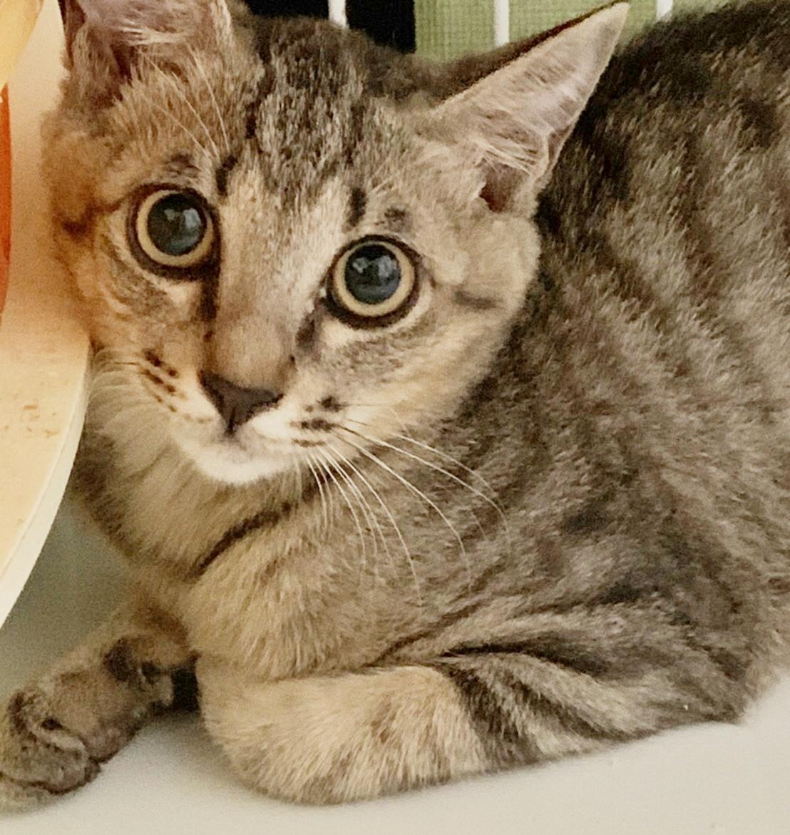 保護猫 子猫 キジトラ