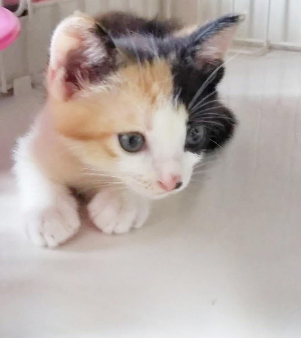 保護猫 子猫 三毛猫
