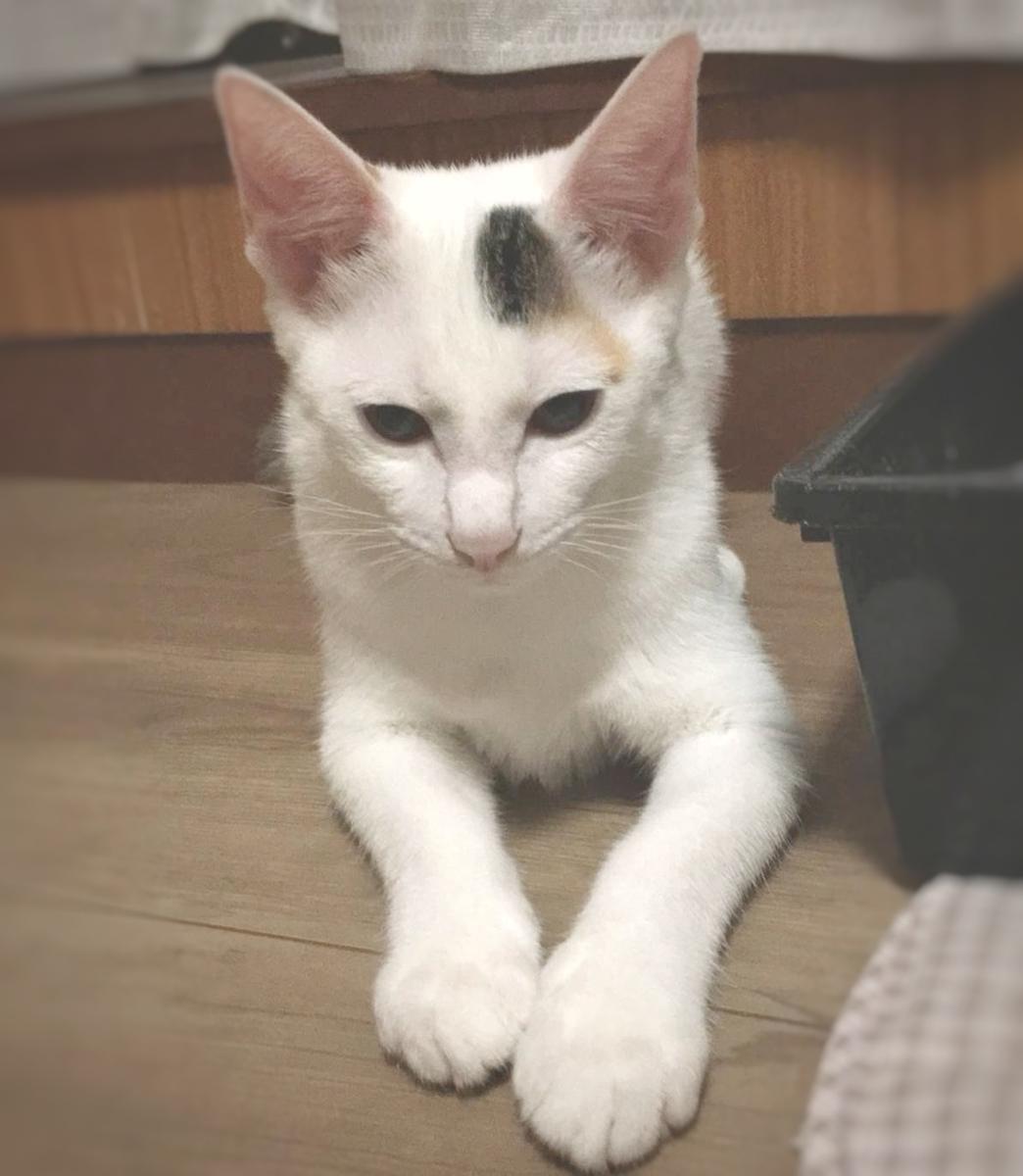 保護猫 子猫 白三毛 とび三毛