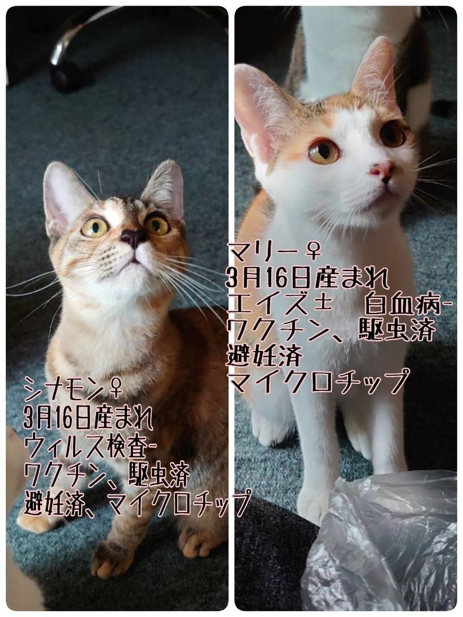 保護猫 子猫 茶白