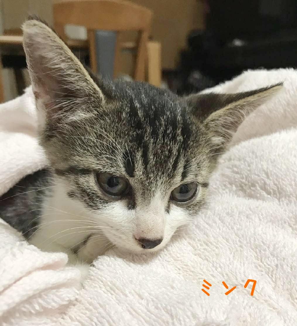 保護猫 子猫 キジ白