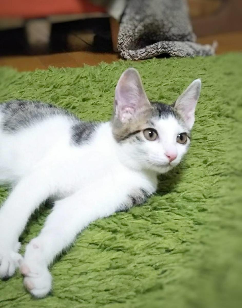 保護猫 子猫 サバ白