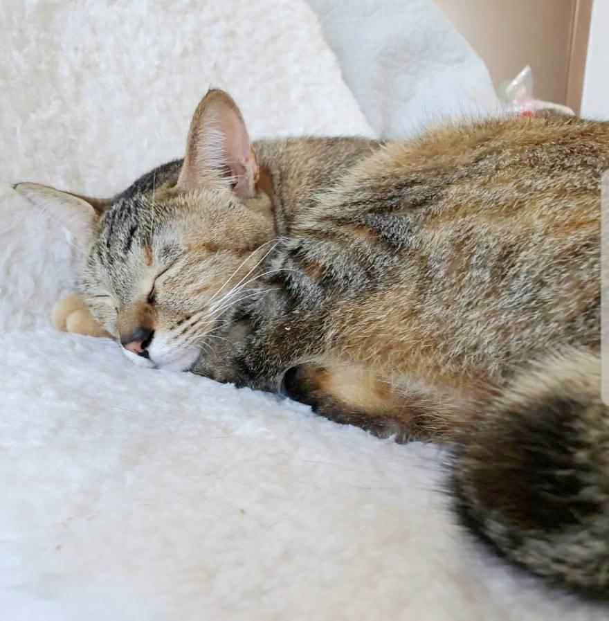 保護猫 サビ猫