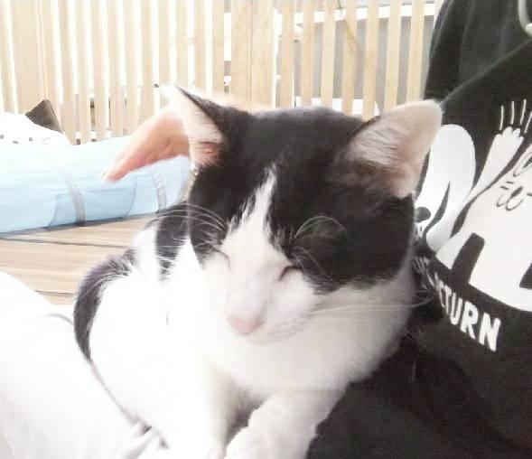 保護猫 ハチワレ