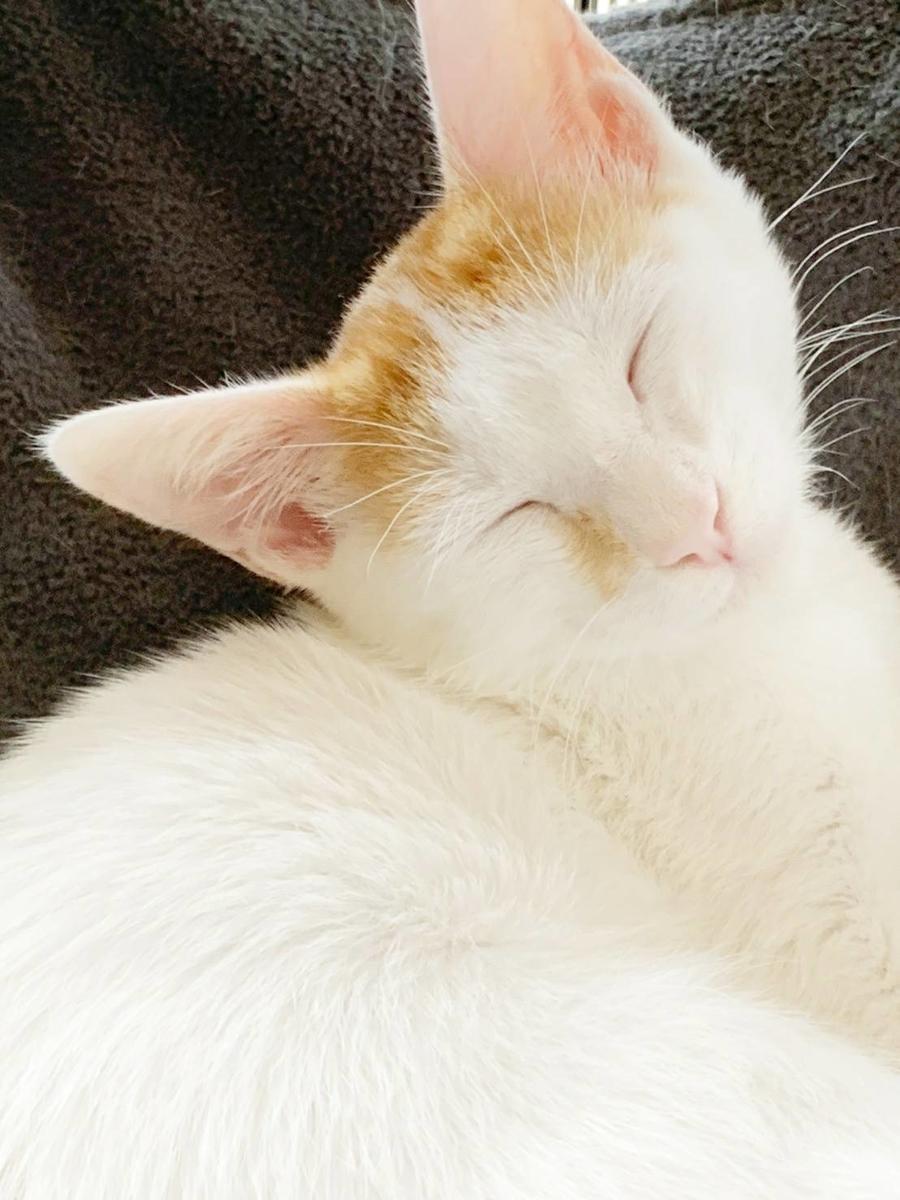 保護猫 子猫 白キジ