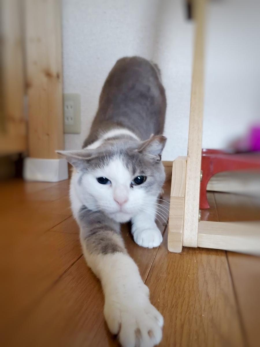 保護猫 白サバ