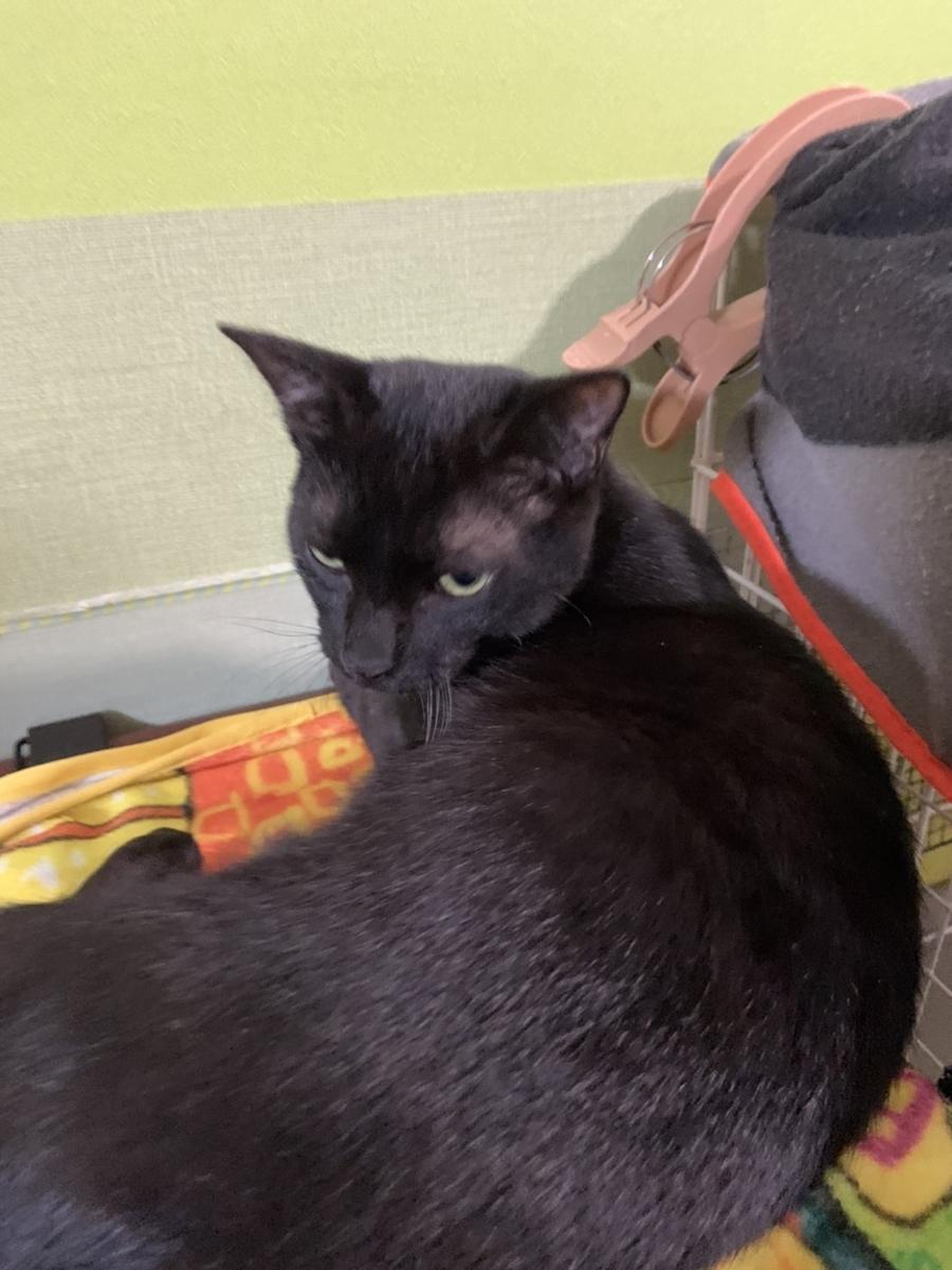 保護猫 子猫 黒猫