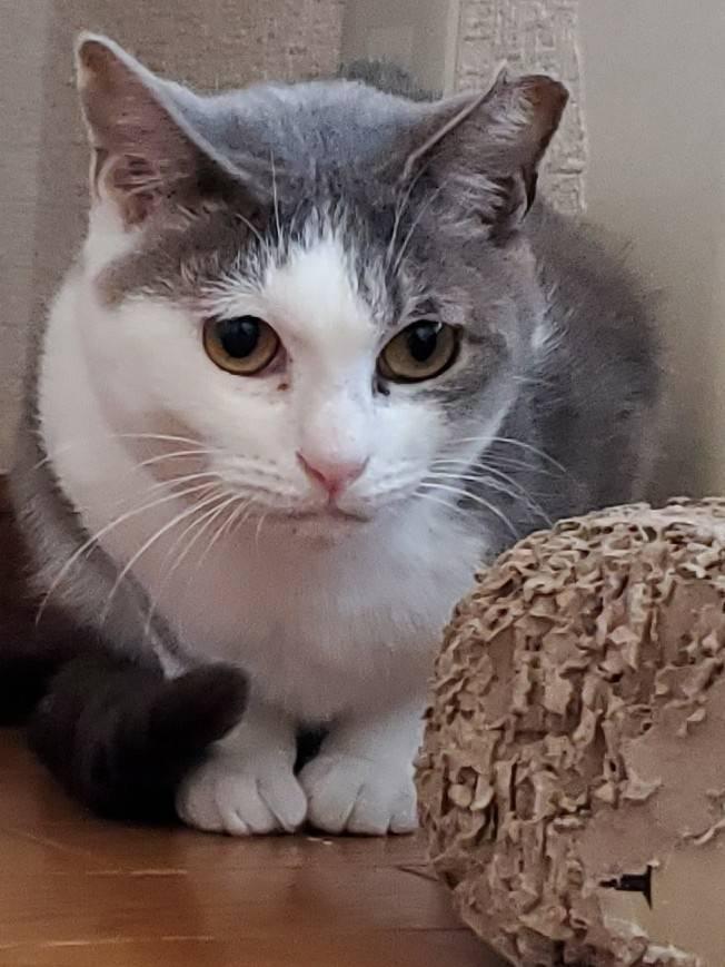 保護猫 サバ白