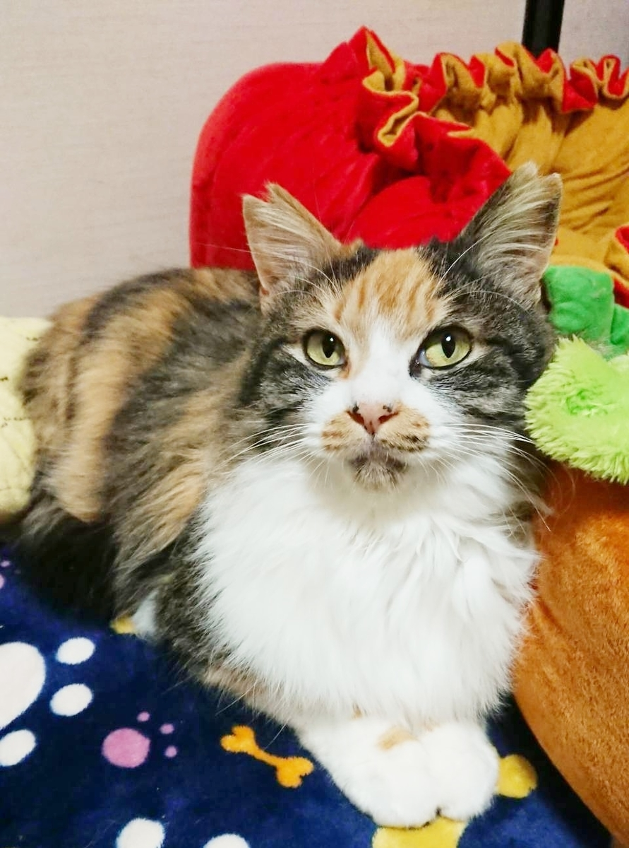三毛猫 長毛猫 保護猫