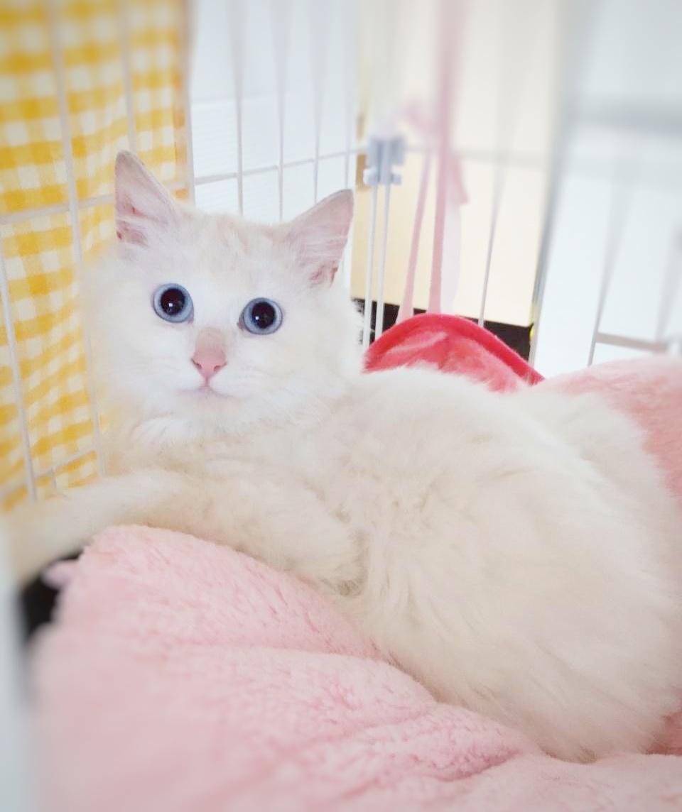 白猫 長毛猫 保護猫