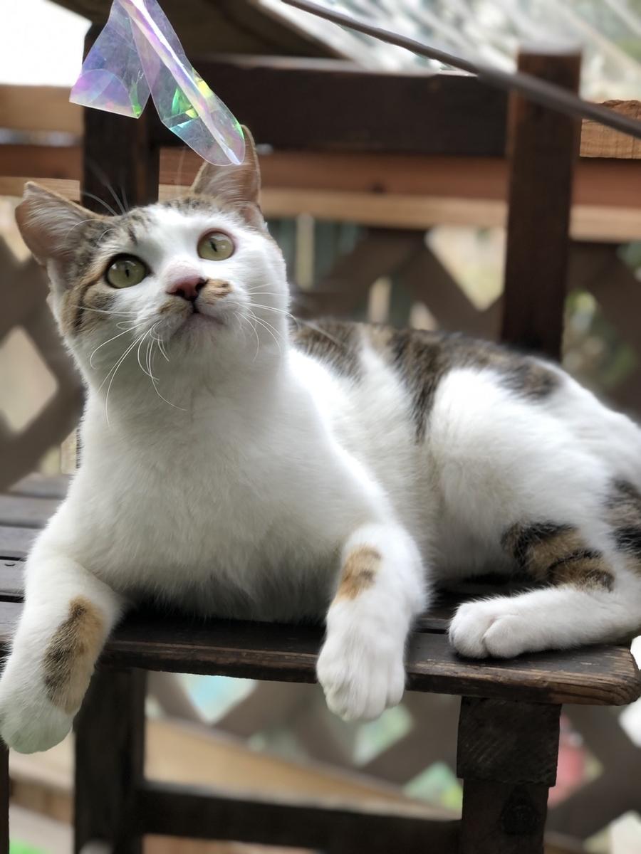 保護猫 白キジ