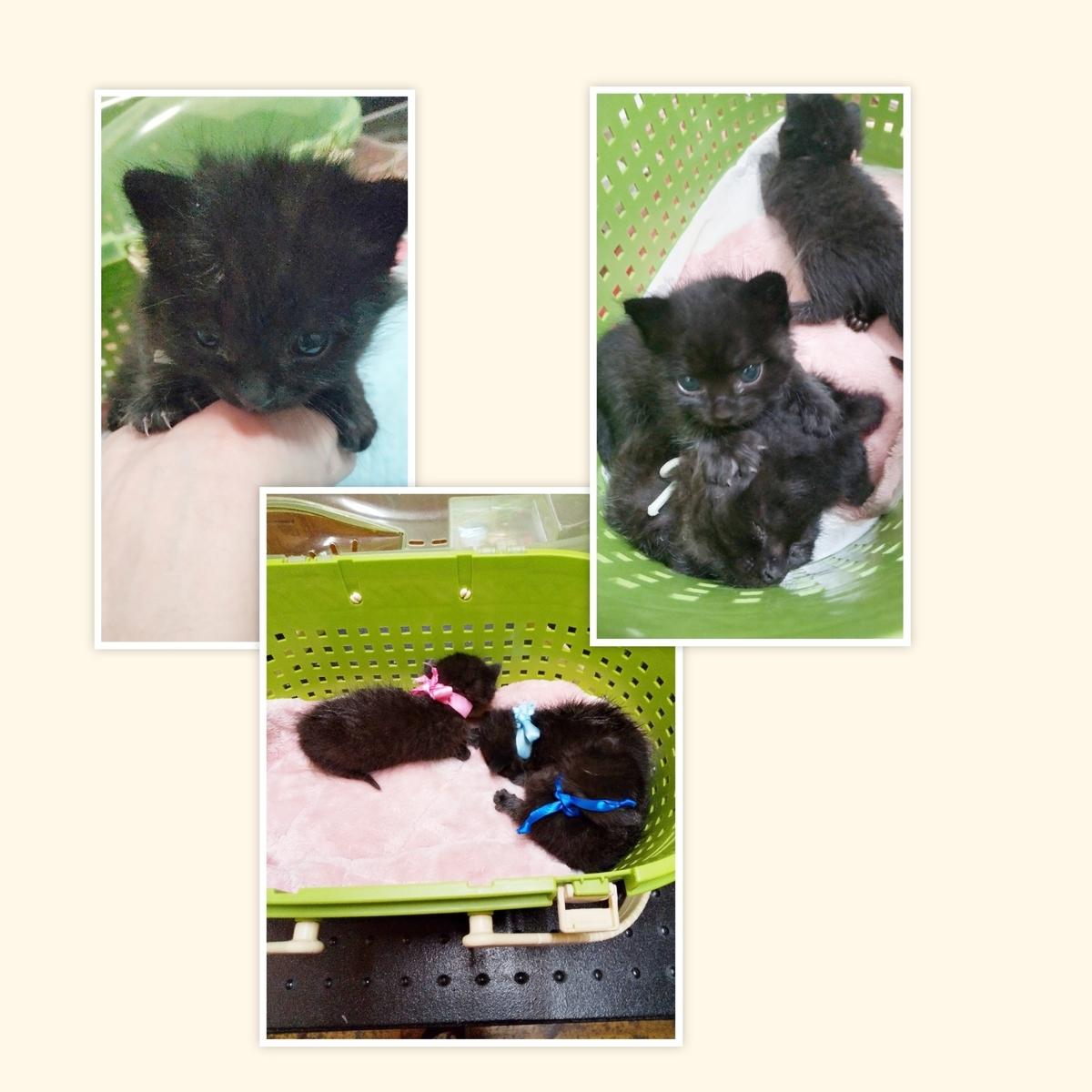 保護猫 子猫 黒キジ