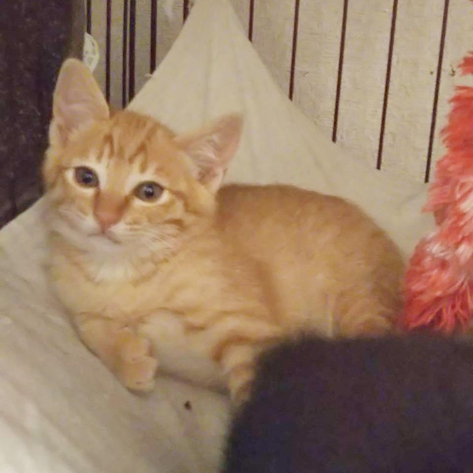 保護猫 子猫 茶トラ