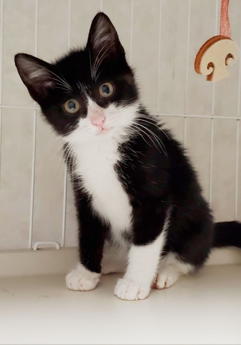 保護猫 子猫 タキシード