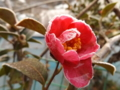 京都新聞写真コンテスト 凍る山茶花