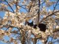 2009年の風景「桜ネコ」