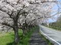 琵琶湖沿いの桜