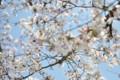 2015年の桜・9