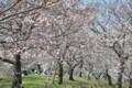 2015年の桜・6