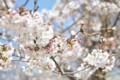 2015年の桜・8