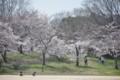 2015年の桜・5