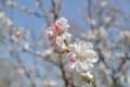 2015年の桜・3
