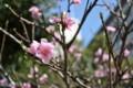 2015年の桜・1
