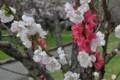 2016年の桜・7