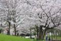 2016年の桜・4