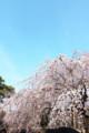 [桜][新宿御苑]