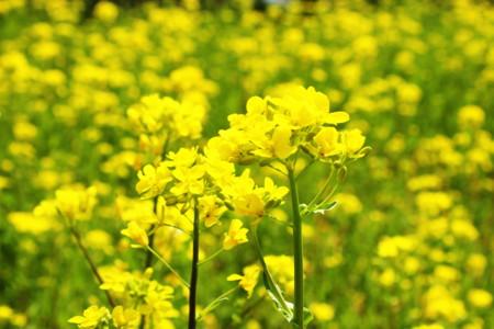 [春][SL][菜の花]