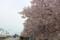 [長野][小布施][桜]