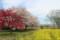 [長野][小布施][桜][菜の花]