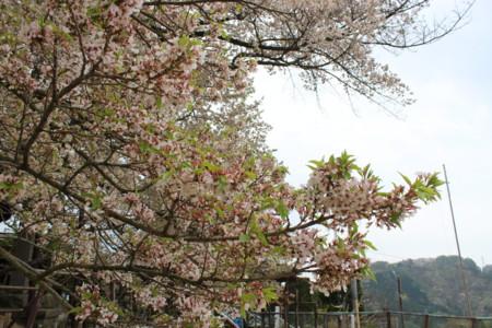 [長野][神代桜][素桜神社]
