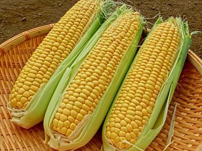 とうもろこし農家の方に教えていただいたトウモロコシの保存方法とは