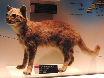 イリオモテヤマネコと普通の猫の違い