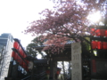 豊川稲荷の八重桜