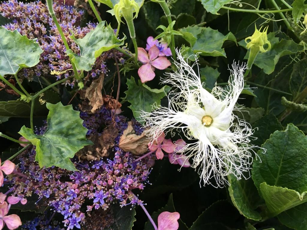 烏瓜の白い花