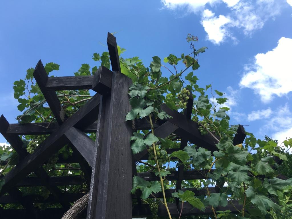 白山神社脇のブドウ