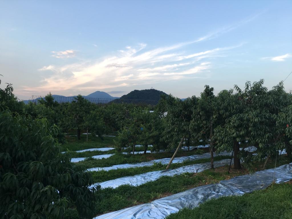 夕焼け迫る桃畑