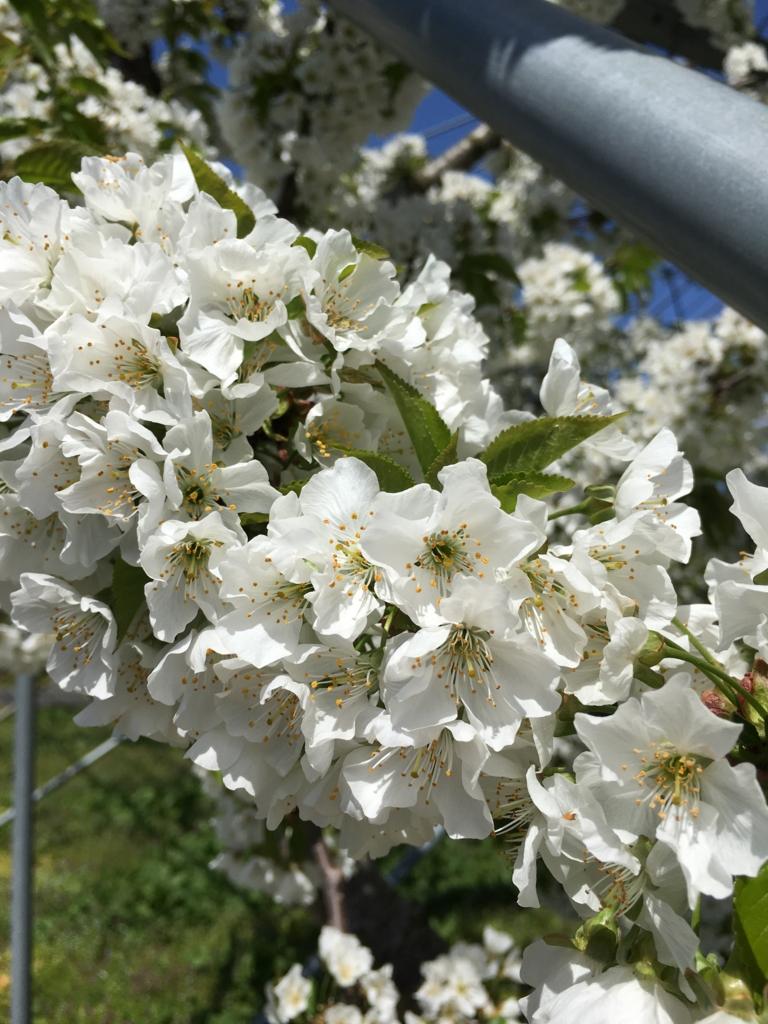 ラ・フランスの白い花