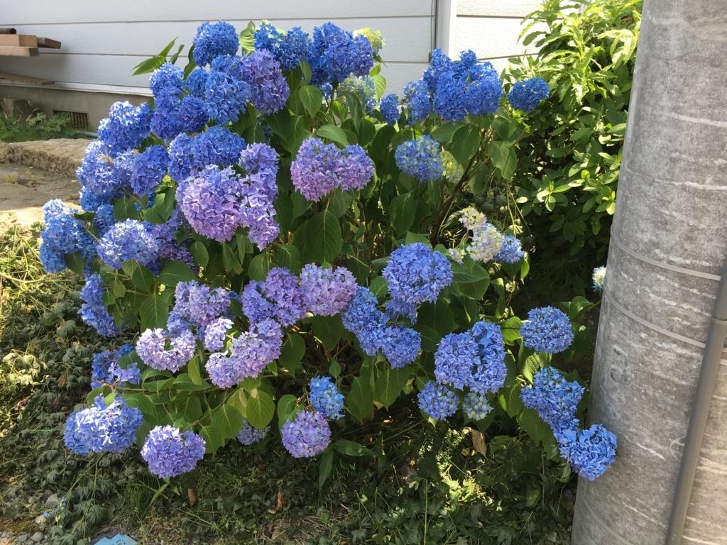 紫陽花です